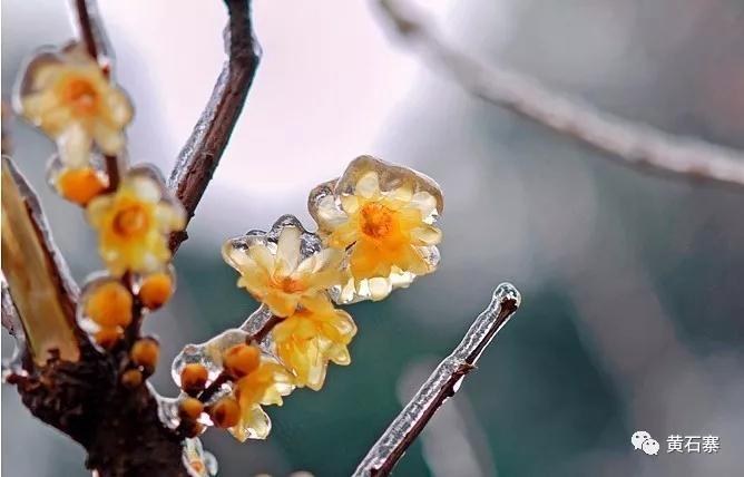 梅花绽放正盛时期,梅香四溢,闻香而来的游客络绎不绝。青葱峰群,一抹淡粉绕于峰足间,如梦如幻,似仙境般迷人。