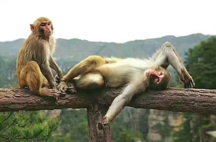 """森林公园大氧吧广场游客逗猴    红网时刻张家界3月8日讯(通讯员 田川 龚素禾 粟阳)春雨过后的武陵源核心景区阳光明媚,春暖花开,趁着晴好天气,山上的""""猴哥""""们也按耐不住纷纷下山觅食。只见山间,成群结队的小萌猴欢快而来,有的在游道向来往游人讨要食物,有的在树枝嬉戏晒太阳,萌趣可爱的样子逗的游客开心不已。"""