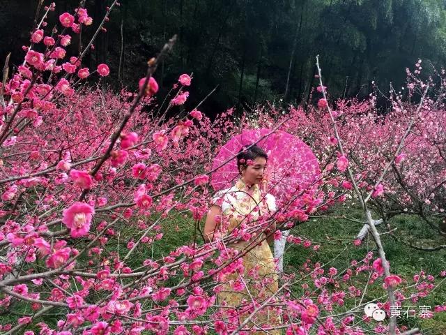 黄石寨梅园耗资600多万,落脚于世界自然遗产中的张家界黄石寨脚下、金鞭溪畔(分布区域为黄石寨索道下站公路两侧一直延伸至老磨湾广场处),全程约有1.5公里,近5000株梅花,为湖南省最大的梅园。初春,梅园的红梅在苍翠青山与悠悠溪水间撒下一抹红。漫步其中,如诗如画,如梦如幻,梅香沁人心脾,令人心旷神怡。奇山秀水、鸟语花香、原始次森林,置身于张家界国家森林公园内的黄石寨梅园说它是世界最美梅园也不足为过。