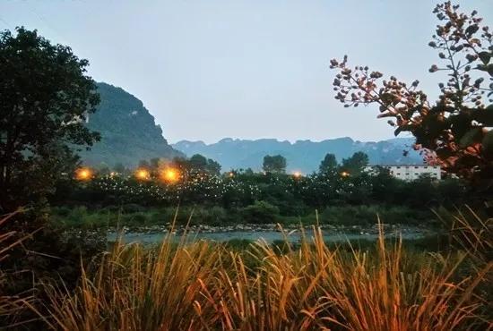 """清清索溪水,群群白鹭飞。8月26日,华灯初上,在世界自然遗产地张家界武陵源的索溪河上空,成群结对的白鹭飞往百花洲,栖息在河边的几棵大树上,远远望去像朵朵盛开的白鹭花,甚为壮观,引来无数路客驻足观看、拍摄。    白鹭是一种水鸟,为国家""""三有""""野生动物、湖南省重点保护野生动物,以啄食鱼、虫及水生植物生存。据当地居民介绍,前些年索溪沿河两岸住户较多,白鹭怕惊扰,数量不多且分散栖息。业内人士称,随着生态系统不断修复、生态环境日益变好、群众保护意识增强,人与自然和谐共生,给白鹭创造了越来越好的生存空间。"""